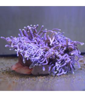 Radianthus magnifica M/ Актиния роскошная магнифика