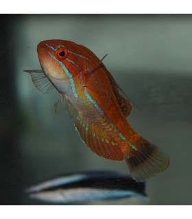 Paracheilinus Carpenteri М/ Губан-фея Карпентера