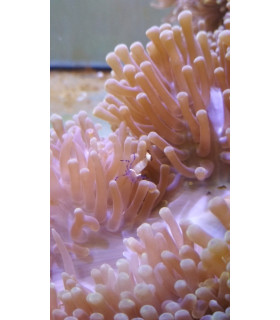 Periclimenes Holthuisi М/ Креветка анемоновая стеклянная