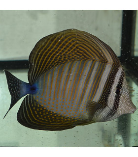 Zebrasoma Desjardinii XL/ Зебрасома парусная Дежардена