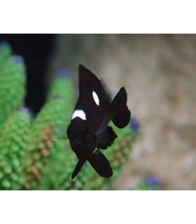 "Dascyllus Trimaculatus М/ Трехпятнистый дасцилл(""доминошка"")"