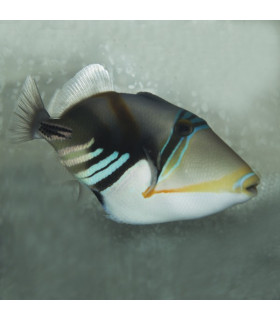 Rhinecanthus aculeatus M/ Спинорог Пикассо колючий