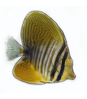 Zebrasoma Veliferum M/ Зебрасома парусная