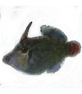 Pervagor melanocephalus M/ Первагор черноголовый краснохвостый