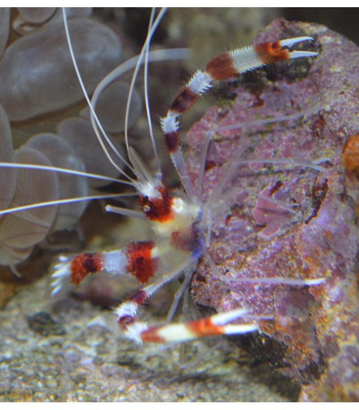 Stenopus hispidus Креветка-боксер