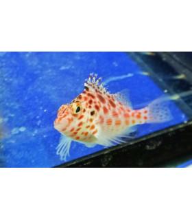 Cirrhitichthys Falco M/ Кудрепер - сокол (5-7см)