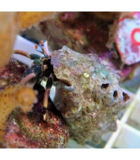 Dardanus sp. M/ Рак отшельник большой