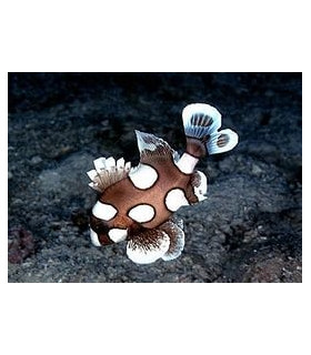 Plectorhinchus chaetodonius(j) M/ Сладкогуб-клоун (ювенильный)