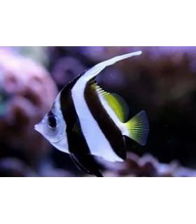 Heniochus Acuminatus S/ Бабочка вымпельная белоперая