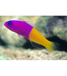 Pseudochromis Paccagnelae М/ Ложнохромис королевский