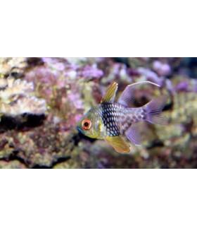 Sphaeramia Nematoptera M/ Желтый апогон-бабочка(4-5 см)
