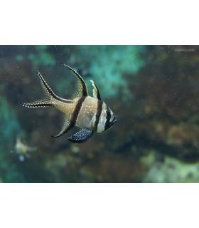 Pterapogon Kauderni M/ Тюлевый апогон