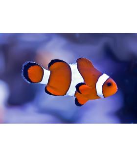 Amphiprion Ocellaris(orange) M/ Рыба - клоун(оранжевый)
