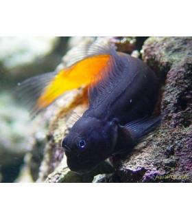 Ecsenius Bicolor М/ Двуцветная морская собачка