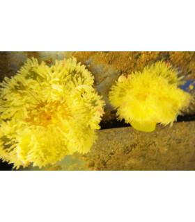 Heteractis Sp.(Yellow) M/ Актиния гетерактис малу(желтая)