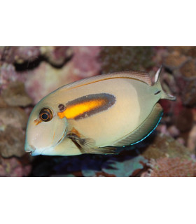 Acanthurus Olivaceous М/ Хирург оливковый