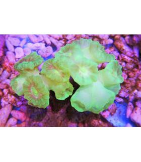 Caulestrea Sp. (Cultured)(green metallic) M/ Кауластрея(культура)(зеленый флюресцентный)(6-10 голов)