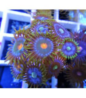 Zoanthus Sp. Colors S / Зоантусы