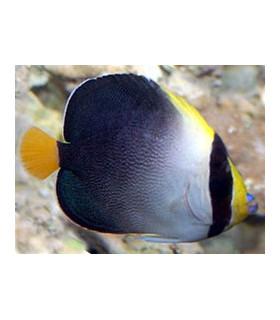 Chaetodontoplus Mesoleucus М/ Ангел-хетодонтопл желтохвостый