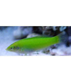 Halichoeres Chloropterus М/ Губан-тамарин зеленый