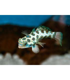 Synchiropus picturatus M/ Мандаринка зеленая пятнистая
