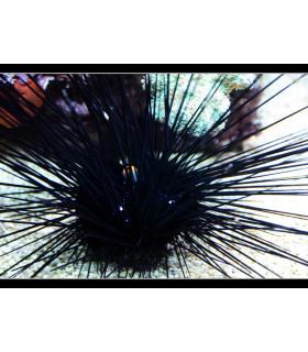 Diadema Setosum М/ Еж диадема черный длинноиглый