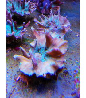 Hydnophora Microconos М/ Хиднопора