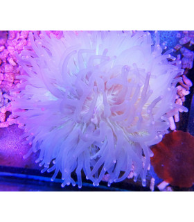 Heliofungia Actiniformis M/ Гелиофунгия (бело-розовая)