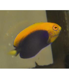 Centropyge Аcanthops M/ Ангел центропиг биколор