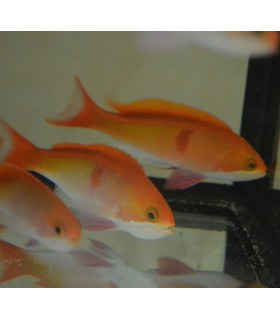 Pseudanthias cooperi  M/ Антиас краснополосый