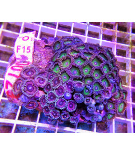 Zoanthus Sp. Colors M/ Зоантусы