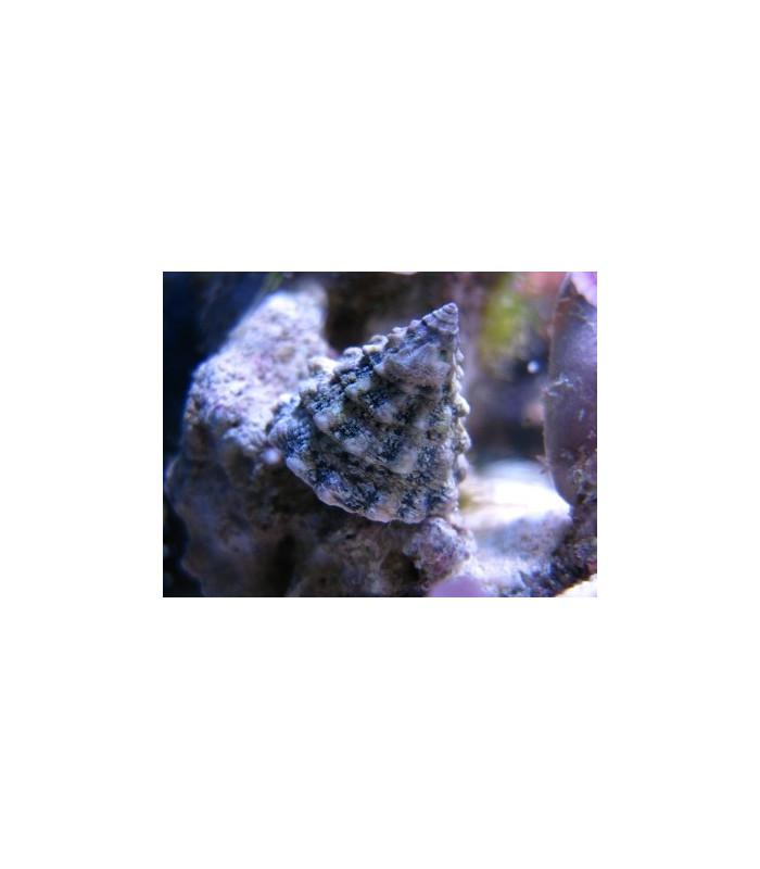 Tectus pyramis M/ Улитка - волчок