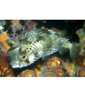 Diodon hystrix/ Рыба-еж длинноиглая, Еж-рыба обыкновенная