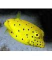 Ostracion yellow s/ Кузовок желтый