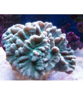 Pectinia Spp М/ Пектиния(зеленый)