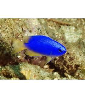 Pomacentrus Coelestis М/  Памацентрус неоновый, Неоновая рыба-ласточка