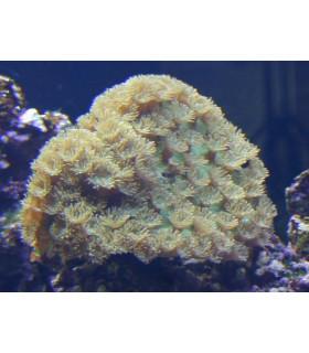 Turbinaria peltata М/ Турбинария