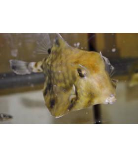 """Tetrosomus gibbosus L/ Кузовок треугольный рогатый """"стелс"""""""