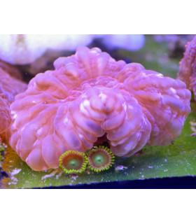 Cynarina lacrymalis M/ Цинарина