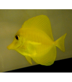 Zebrasoma Flavescens S/ Зебрасома желтая