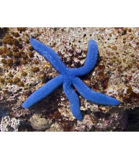Linckia laevigata M/ Голубая линкия