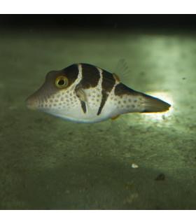 Canthigaster Valentini M/ Иглобрюх острорылый Валентини