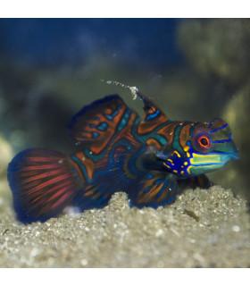 Pterosynchiropus Splendidus М/ Мандаринка глянцевая
