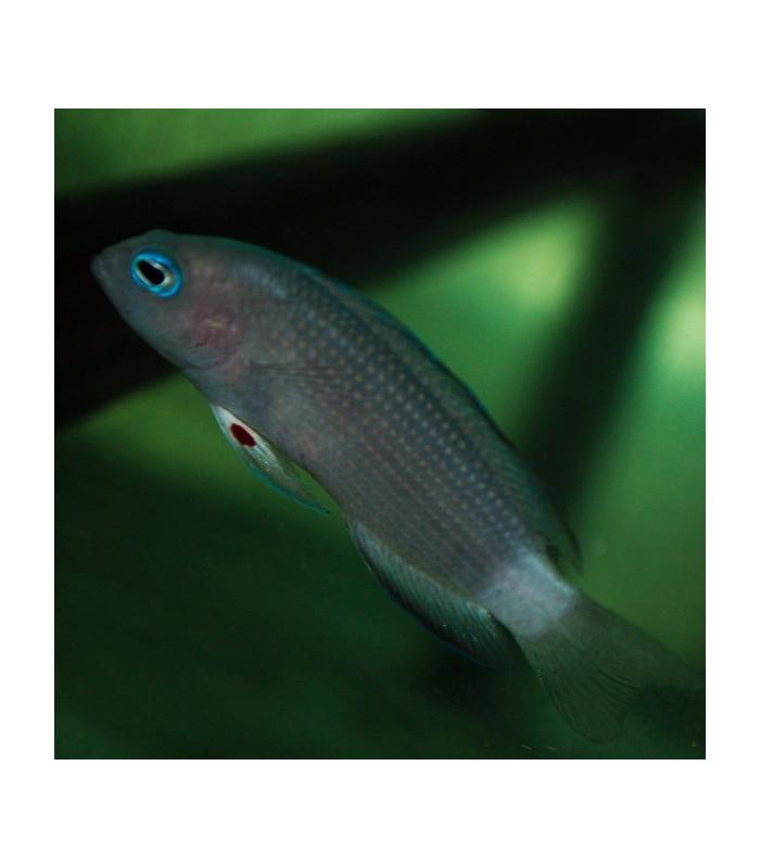 Pseudochromis Polynemus M/ Ложнохромис