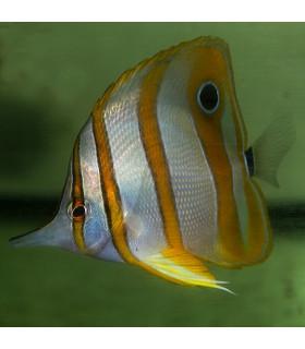 Chelmon Rostratus M/ Бабочка пинцет хелмон