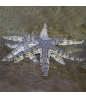 Astropecten Sp. М/ Звезда песчаная