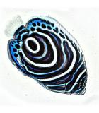рыбы ангелы, помакантовые